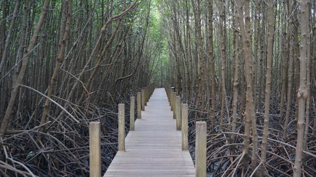 Chao Lao's mangrove